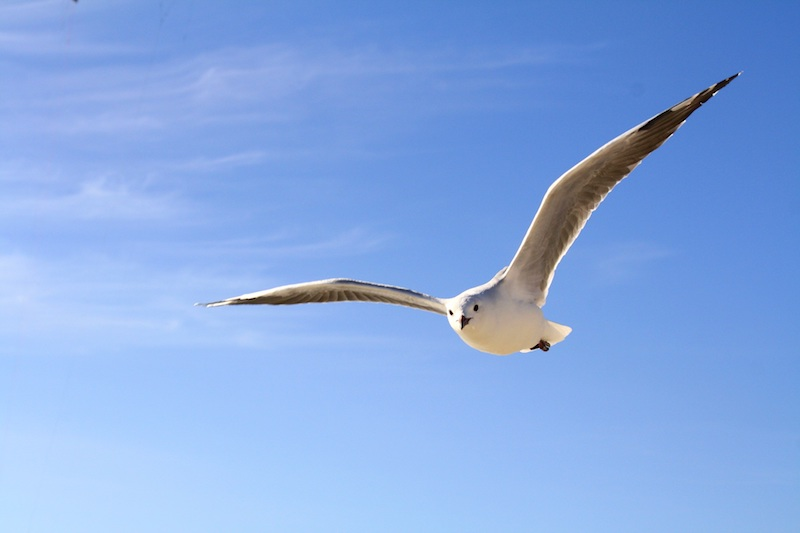 Image showing white flying gull with open wings and blue sky in the background