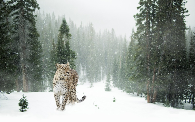 Image of leopard walking in the snow in a forest showing the sadness and the feeling of being out of place